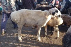 The big bum sheep responsible for the foul tasting food
