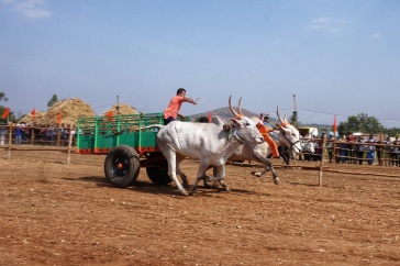 CRAZY bullock cart racing